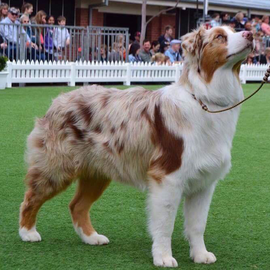 Aussie Shepherd-Fly